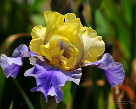1280 X 1024 Iris Desktop Background Pictures For Free Flower Powerpoint Template Wallpapers 1280 X 1024
