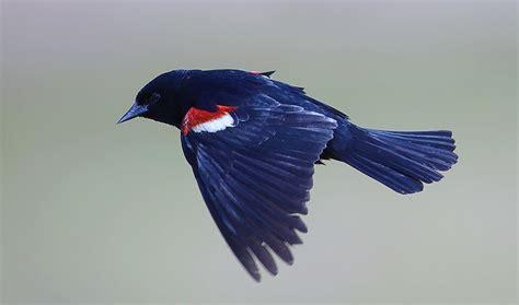 tri colored blackbird yosemite area audubon society program to spotlight
