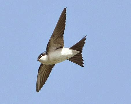 house martin swallows swifts and house martins in tuscany