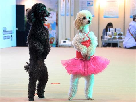 how to your to stand on hind legs the paw fect entrance poodles dressed as ballerinas welcome visitors to the