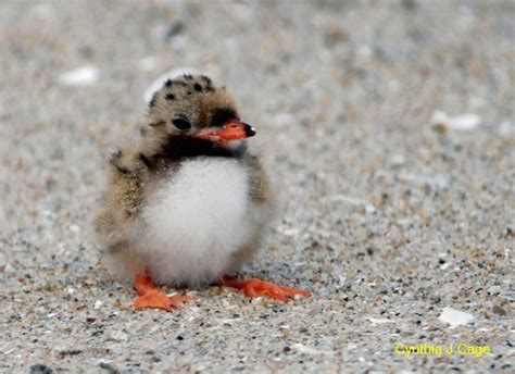 tern chick animals pinterest