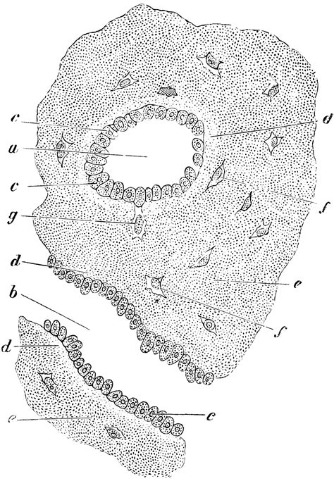transverse section of compact bone formation of compact bone in a human clipart etc