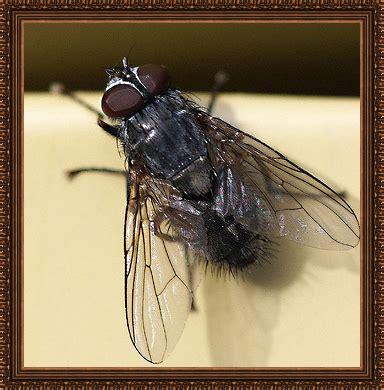 lesser house fly lesser house fly