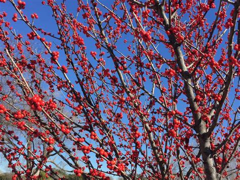what deciduous tree has berries in winter plants for dallas your source for the best landscape plant information for the dallas ft