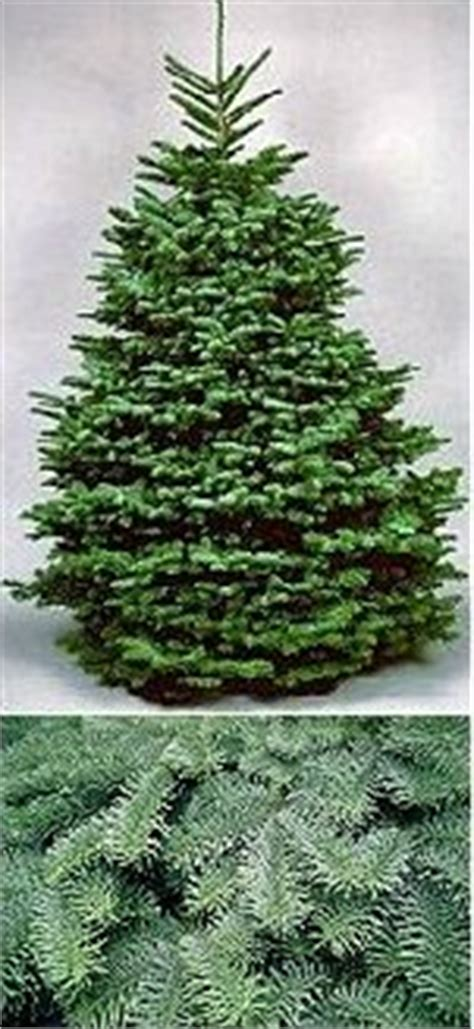 real christmas trees best quality noble fir