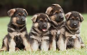Vanburen shepherds