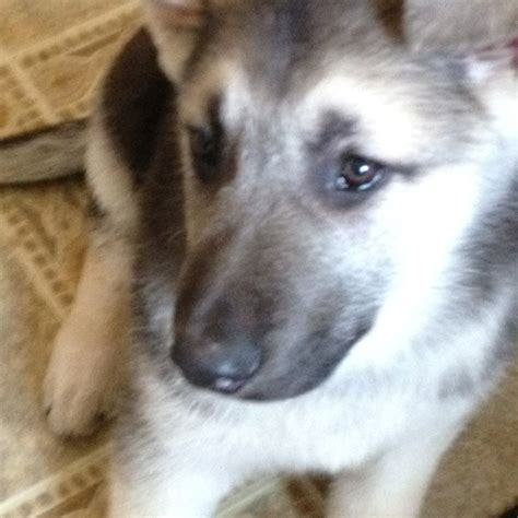 silver german shepherd puppies black and silver german shepherd breeds picture