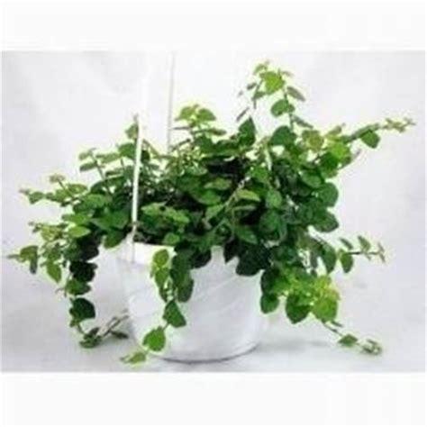 piante ricadenti da interno piante in bagno piante appartamento