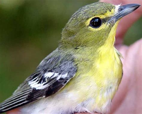 Monterey County Records Mty Yellow Throated Vireo