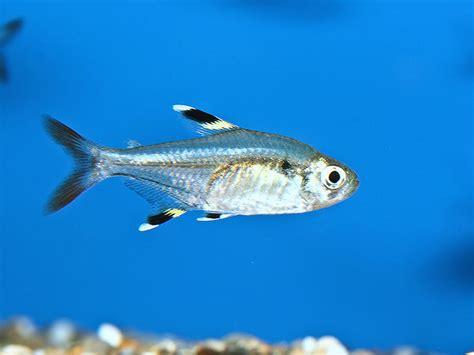 Best Buy Home Decor by X Ray Tetra Pristella Maxillaris Fish Tanks And Ponds