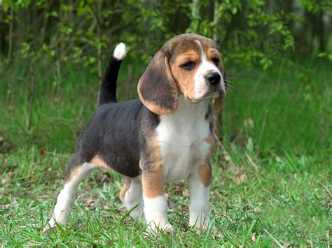 beagle puppy breeders beagles