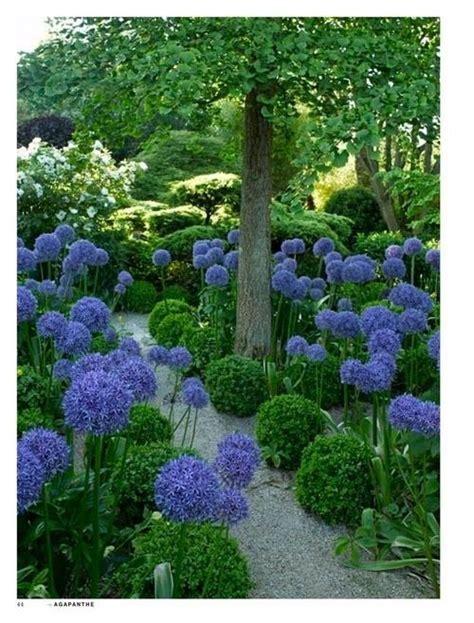 agapanthus flowers garden love my garden pinterest