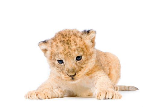 imagenes de leones y gatos fonditos cachorro de le 243 n animales leones mascotas