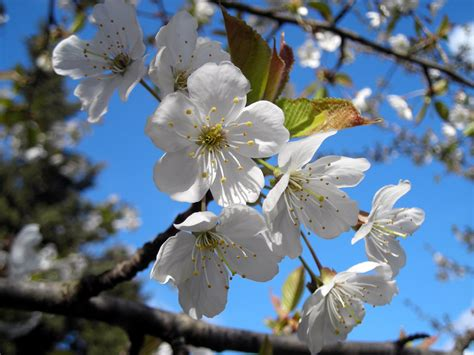 fiori ciliegio il ciliegio aikido sansepolcro