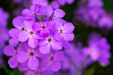 Flowers Violet maine wildflowers stephen l tabone nature photography