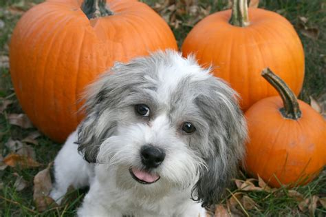 how much pumpkin to give a puppy is pumpkin safe for dogs and cats how much can i give them