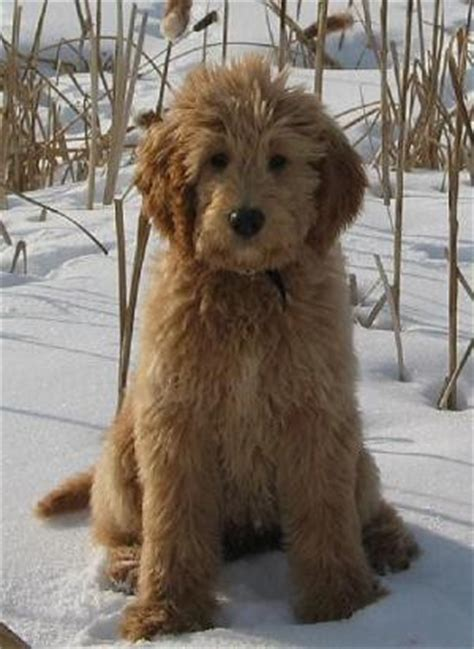 mini goldendoodle new jersey 130 best images about golden doodle grooming styles on