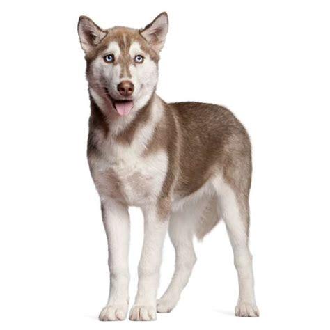 alimentazione siberian husky siberian husky scheda razza su cani it