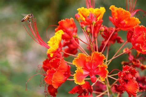 desert flowers desert flower names orange desert flower and a bee