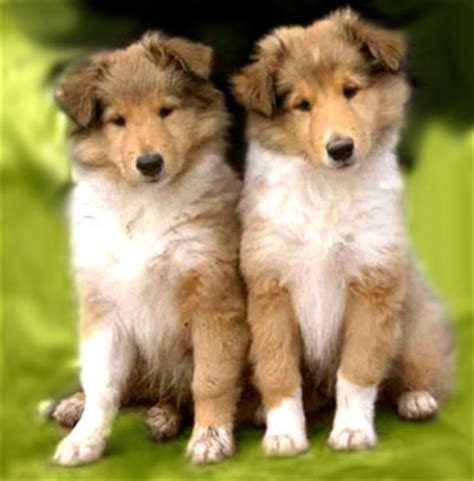 collie puppies 301 moved permanently