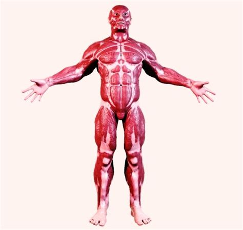 muscular system diagram the skeletal and muscular system models picture