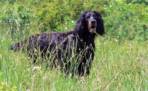 gordon setter dog temperament gordon setter dog breed information and images k9