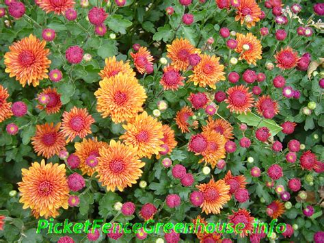 mums flowers picket fence greenhouse iowa gardening mums flowers