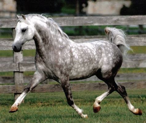 welsh section b ponies for sale fox cry whinny the pooh welsh section b stallion owned by
