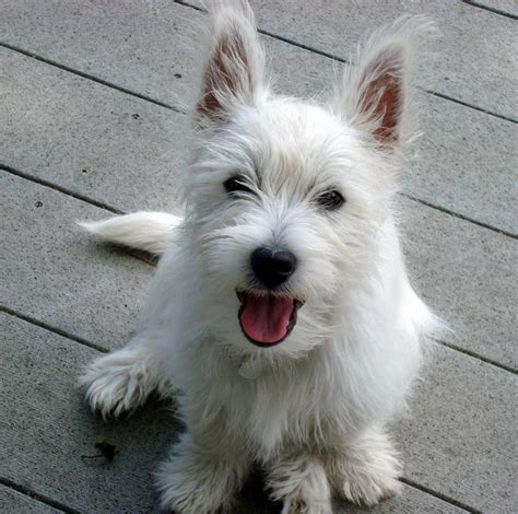 white terrier puppies west highland white terrier breed 187 info pic more