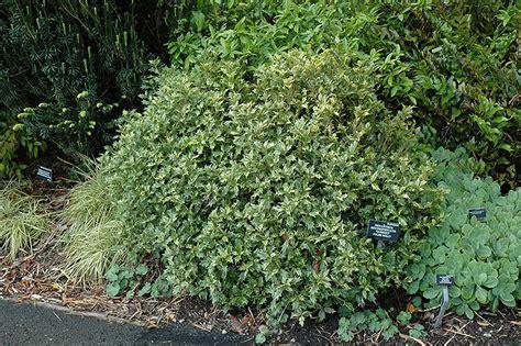Olive Garden Gahanna by Variegated False Osmanthus Heterophyllus Goshiki