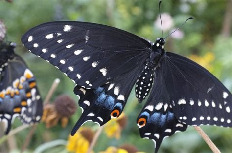 Butterfly Black black swallowtail butterfly cycle smith designs