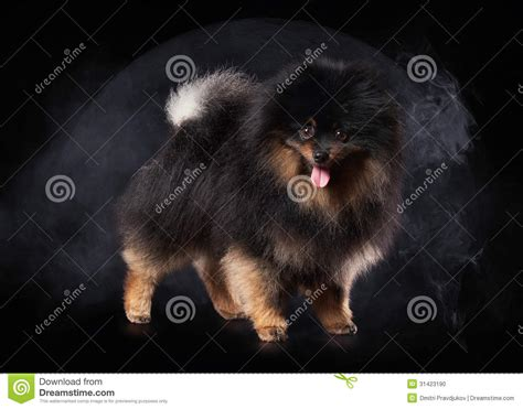 black and brown teacup pomeranian black and brown teacup pomeranian breeds picture