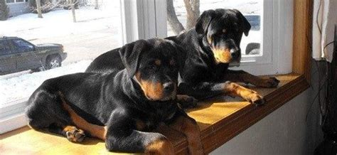 rottweiler behaviour problems rottweiler behavior problems list of articles on this specific topic