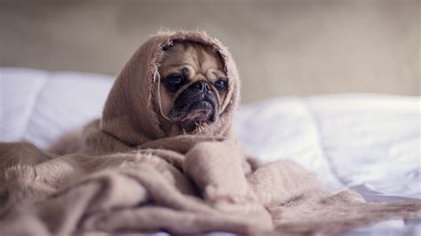 pug in pug in blanket hd wallpapers