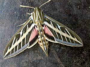 7 Gorgeous Sweaters By Moth by Beautiful Moth Hyles Lineata Bugguide Net