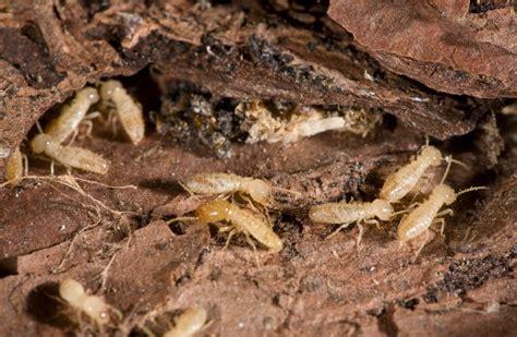 determine     termite infestation