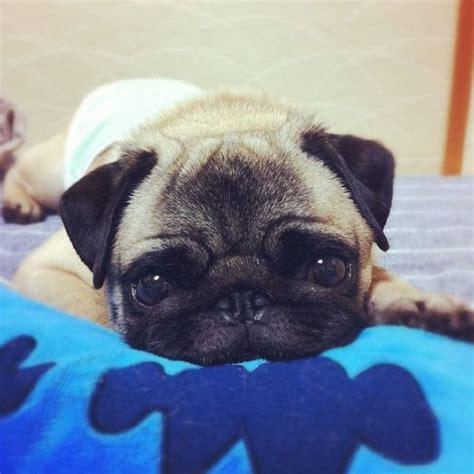 baby pug price best 25 teacup pug ideas on