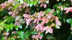 Backyard Conservation Best Lilly Pilly Varieties Burke S Backyard