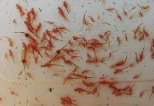 Artemia Untuk Pakan Ikan Dan Udang cara budidaya artemia mengunakan botol alam ikan