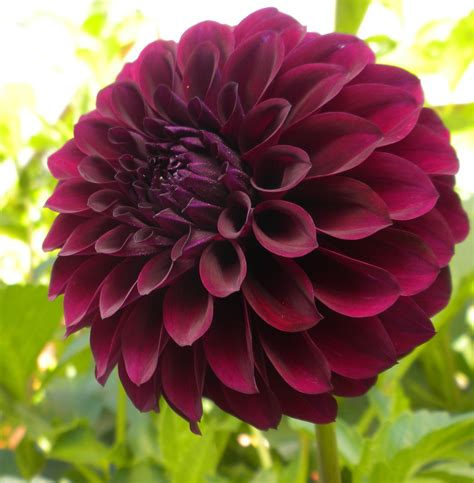 where does the exquisite black dahlia get its color from