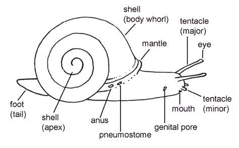 diagram of land snail snail info elisabeth tova baileyelisabeth tova bailey