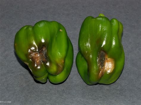Diseases Of Pepper Plants - pepper fruit rot signs amp symptoms umaine cooperative extension insect pests ticks and