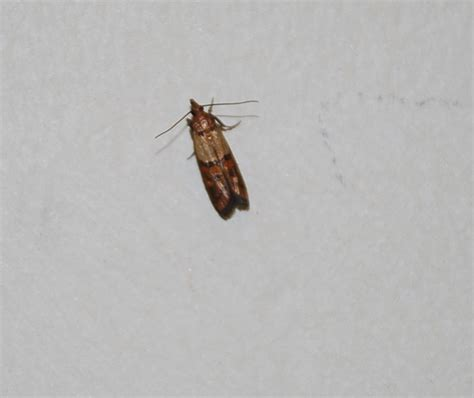 small black flying bugs in bedroom little brown flying bugs in my bedroom memsaheb net