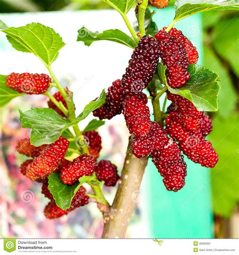 mulberry tree no fruit mulberry fruit stock image image 35993301