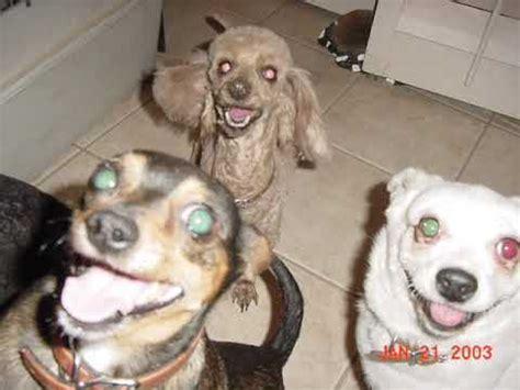 dogs singing jingle bells dogs singing songs jingle bells funnydog tv