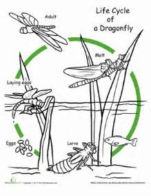color the life cycle dragonfly worksheet education com
