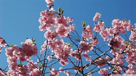 japanese cherry blossom tree japanese cherry blossom tree wallpaper 1113734