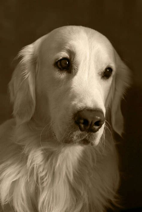 white golden retriever california 21 best when alee hacked your board images on ha ha stuff and