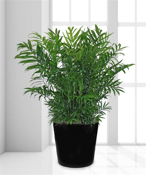 neanthe bella palm plant green floor plant veldkamps