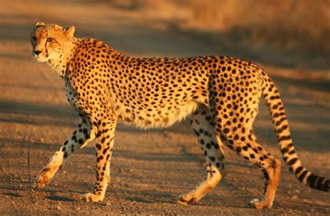 south african cheetah simple english wikipedia the free 3888x2592 source mirror